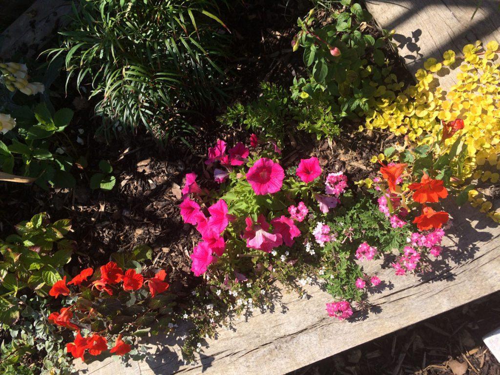 Nasturtiums and Petunias