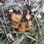Sarcodon fungi